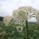 Berenklauw in bloei