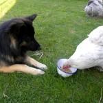 kos en kippen
