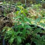 Citroen Verbena (voor de thee)